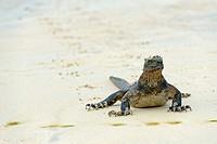 Marine Iguana, Puerto Villamil, Island Isabela, Galapagos Islands, Ecuador / Amblyrhynchus cristatus