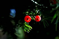 Germany, Fruit of yew tree