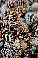 STILL LIFE WITH PINECONES, CONE FROM A MATURE MARITIME OR PARASOL PINE