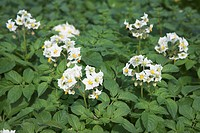 White potato flowers and leaves