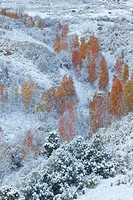 USA, United States, America, Colorado, Fall, Autumn, Trees, Fall Color, aspen, snow, fresh snow, first snow, snow