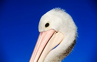 pelican´s head closeup in blue sky background