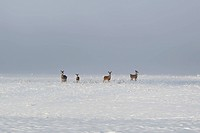 mule deer family hanging out in fresh snow landscape