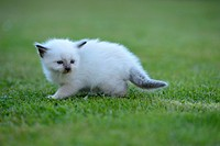 Young Birman cat on lawn