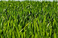 Green fresh grass in spring season closeup