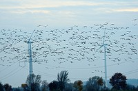Common cranes Eurasian cranes Grus grus and pink footed geese Anser brachyrhyncus fly near pylons and wind turbines, Germany, Europe