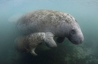 Florida Manatee Calf sucking Milk, Trichechus manatus latirostris, Crystal River, Florida, USA