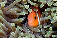 Maldive Anemonefish, Amphiprion nigripes, Baa Atoll, Maldives