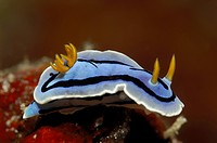 Blue Nudibranch, Chromodoris lochi, Lembeh Strait, North Sulawesi, Indonesia