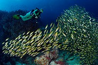 Scuba diver and Shoal of Big_eye Snapper, Lutjanus lutjanus, Richelieu Rock, Surin Islands, Thailand