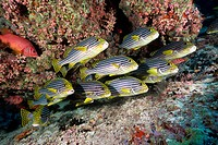 Oriental Sweetlips, Plectorhinchus vittatus, North Male Atoll, Maldives