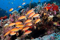 Shoal of Threadfin Anthias, Nemanthias carberryi, North Male Atoll, Maldives