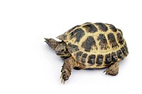 Tortoise isolated on a white background