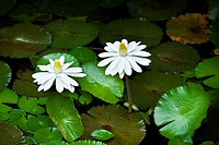 White lotus flowers and green leaves in a pond of water.