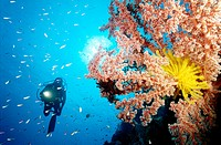 Scuba diver and soft coral  Witu Islands  Papua New Guinea