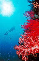 Diver and soft coral reef  Near Loloata Island  Papua New Guinea  South Pacific