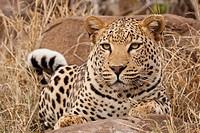 Leopard Panthera pardus im Porträt _ Leopard Panthera pardus in portrait