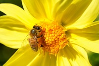 Korbblüte mit Wildbiene