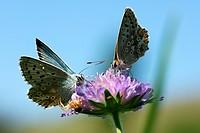 Männlicher und weiblicher Falter auf Ackerwitwenblume, mit Krabbenspinne