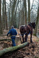 Forester dragging tree_trunk from forest with Belgian Draft horse Equus caballus, Belgium
