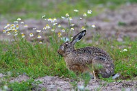European Brown Hare Lepus europaeus eating flowers in meadow