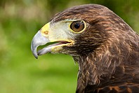 Close_up of the head and hooked beak of a Harris hawk Parabuteo unicinctus at the Owl Centre Spalding Lincolnshire