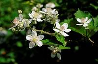 Blütenrispe