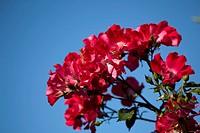 ROSA 'DORTMUND' CLIMBING ROSE