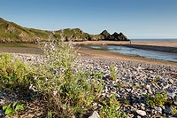 Sea Stock, Matthiola sinuata, Three Cliffs Bay, Wales, summer