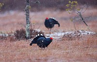 Birkhuhn / Black Grouse / Lyrurus tetrix