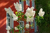 Blütenzweige