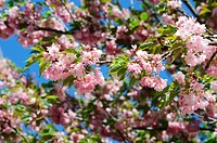 branch with flowers against a background of apple trees in spring foliage