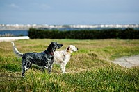 two dogs observing the landscape