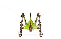 Grasshopper, Malaysian Leaf Katydid, Ancylecha fenestrata, in fr