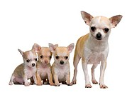 Chihuahua mother and her 3 puppies, 8 weeks old, in front of whi