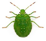 High angle view of a Green shield bug, Palomena prasina, in front of white backg