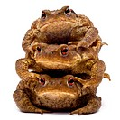 Three common toads or European toads, Bufo bufo, stacked in front of white backg