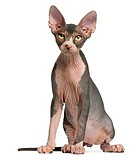Sphynx kitten, 4 months old, sitting in front of white background