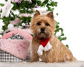 Cairn Terrier, 2 years old, sitting with Christmas tree and gifts in front of wh