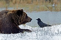 brown bear, ursus arctos, Alaska, bear, USA, animal, snow, bird