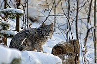 Canada lynx, lynx canadensis, Yukon, Canada, lynx, cat, animal, winter