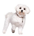 maltese dog (2 years old)