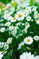 daisies grow summer sunny day