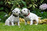Two Dalmatian puppies three weeks old side by side