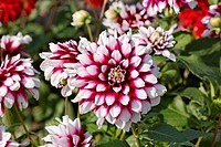 Dahlia 'Verdi', Decorative Dahlia