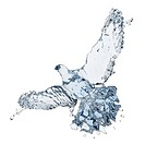 Pigeon of water