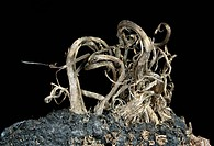 Uchucchacua Mine, Oyon Province, Lima Department, Peru8.95 mm group of native Silver curl's