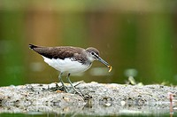 Green Sandpiper (Tringa ochropus) feeding on worm. Austria, July