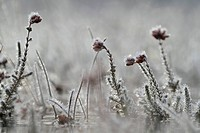 A small winter landscape - Cross-leaved Heath (Erica tetralix) and hoar frost photographed in Frederikshaab Plantation, Denmark