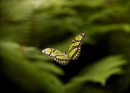 GREEN HELICONID (Phylethria dido) in flight one of the most beautiful butterflies found in the rainforests of S America